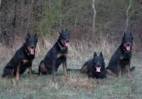 cani da guardia e difesa